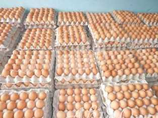 Eggs Suppliers